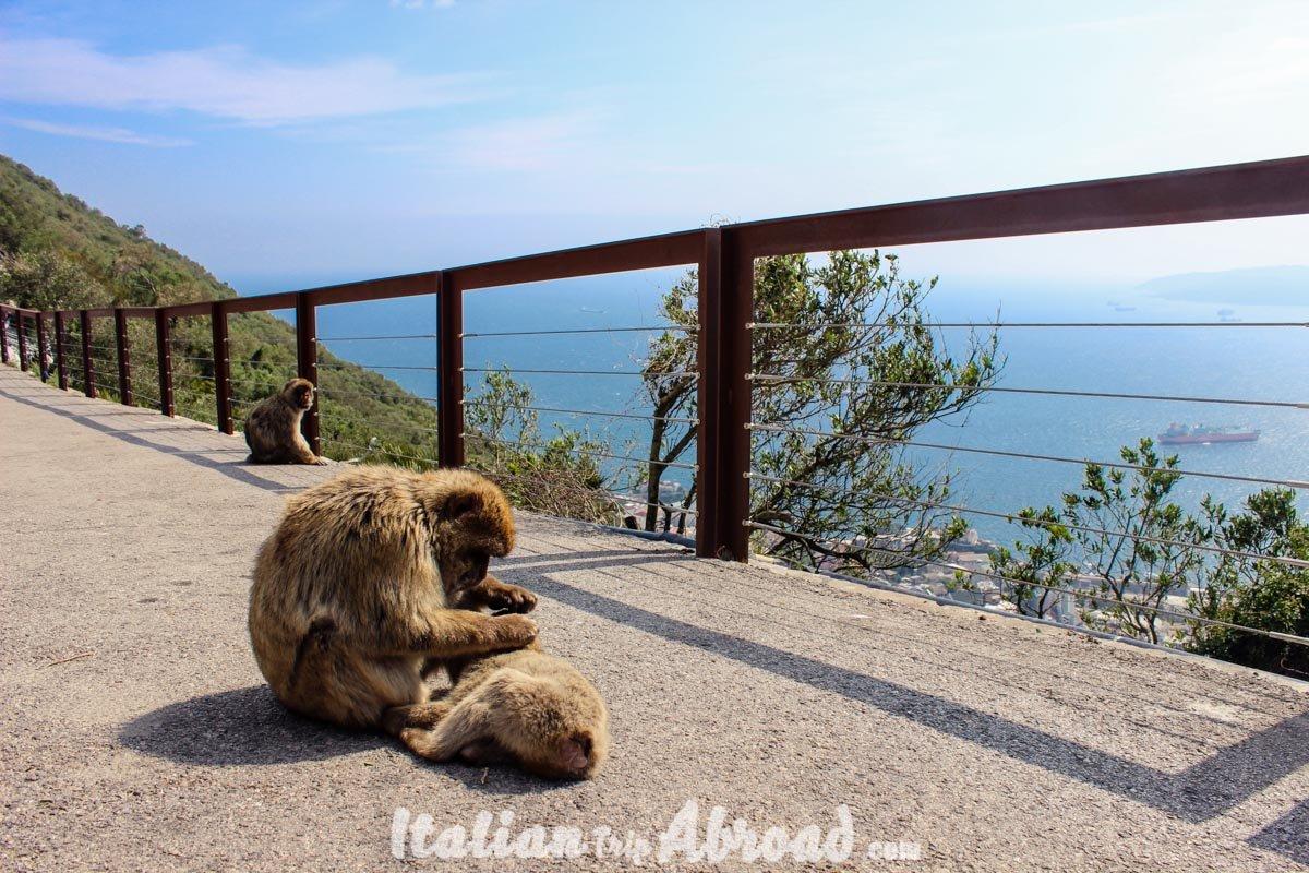 1 day in Gibraltar - Tour of Gibraltar - cute monkeys of gibraltar