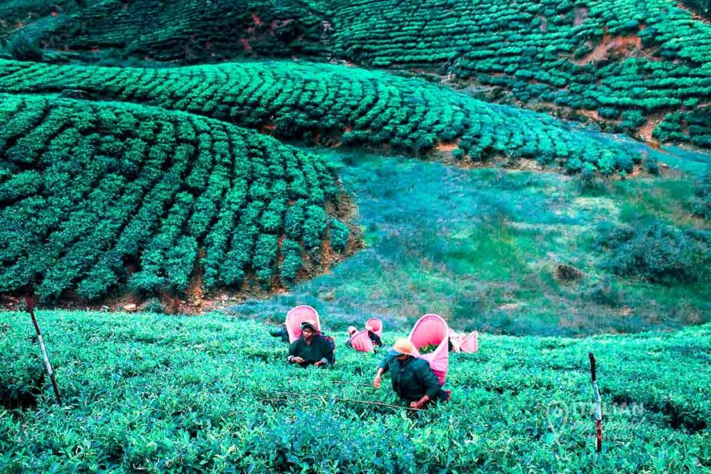 Newara Elya Tea Plantations Experience