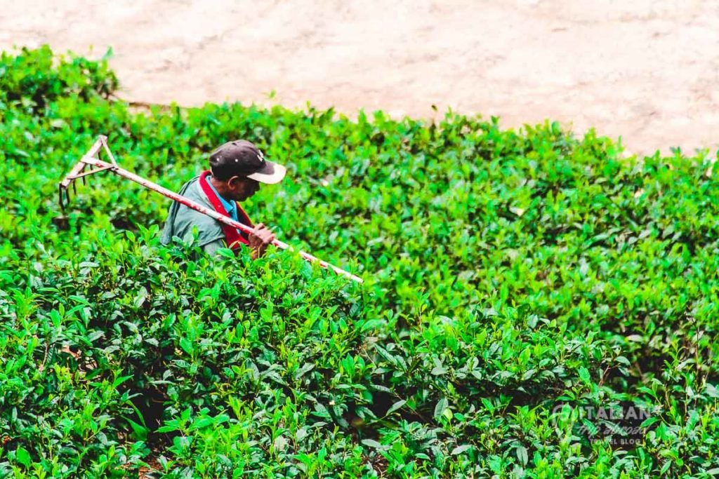 Tea Plantation worker in the process of picking the leaves