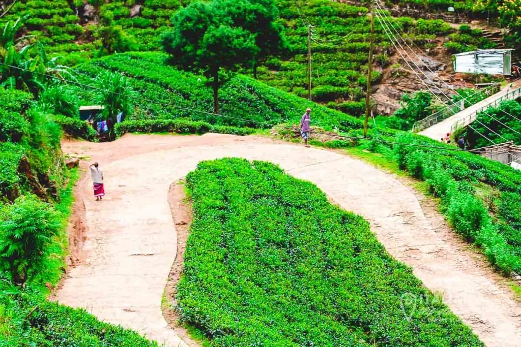 Typical Tea Plantation in the Area of Nuwara Eliya - Sri Lanka