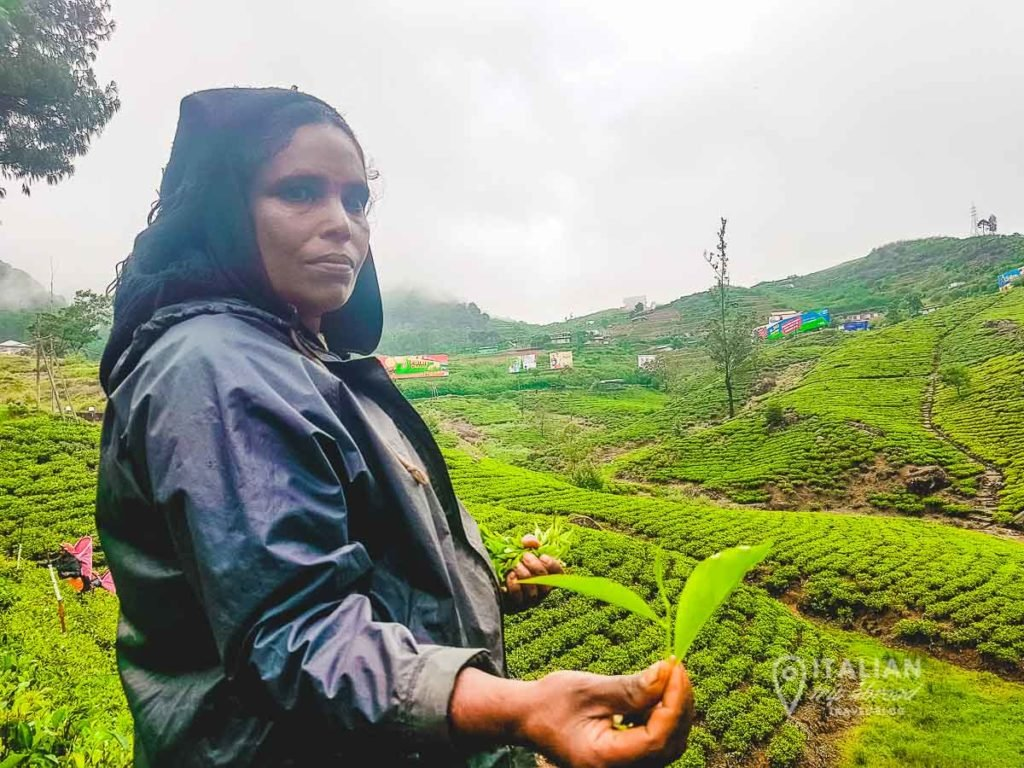 Tea Factory worker explain ceylon tea production and leaves
