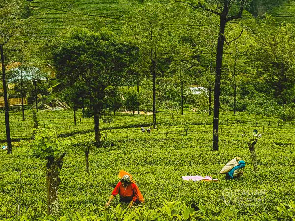 Tea plantation workers picking the best leaves of ceylon tea